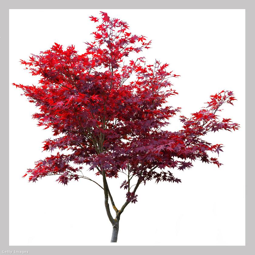 Tűzvörös juhar - Acer ginnala: ez a díszfa napos, félárnyékos helyen érzi jól magát. Tavasszal fehér virágzatának, ősztől vörösbe boruló leveleinek örülhet gondozója. Maximum 6 méteresre nő.