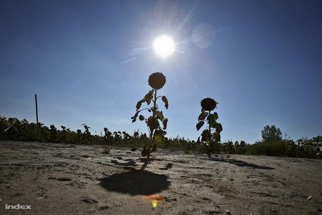 A kukoricások mellett a napraforgó-termelők is megszenvedik a nyarat