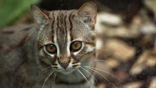 A világ legkisebb macskája elfér a tenyeredben