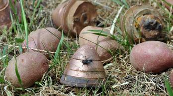 Első világháborús gyutacsokat találtak a krumpliban