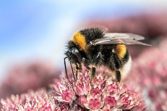 Nagy, szőrbundával fedett teste van, és fullánkját csak ritkán használja: mi lehet ez a rovar a képen?