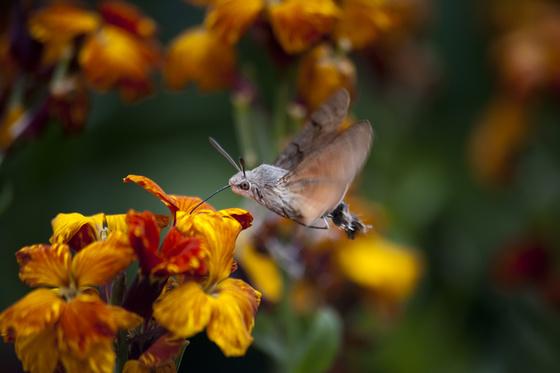 A magyar kolibrinek is nevezik ezt a nagy lepkét. Mi lehet az igazi neve?