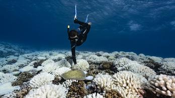 Melegtűrő korallokat alkottak ausztrál kutatók