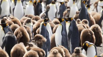 Kéjgázt termelnek a királypingvinek az Antakrtiszon egy dán tanulmány szerint