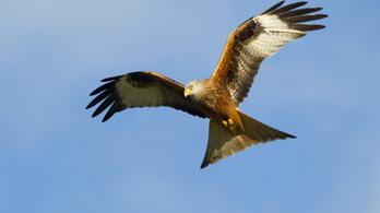 Nagy-Britanniában a ragadozó madarak isszák meg a karantén levét