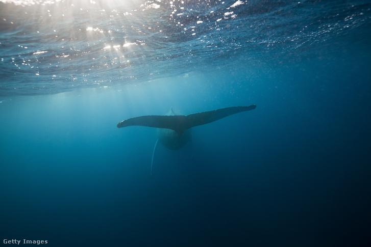 Hosszúszárnyú bálna (Megaptera novaeangliae) a Samana-félszigetnél