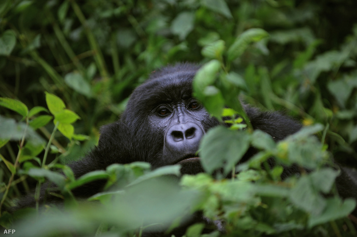 Gorilla a Virunga Nemzeti Parkban