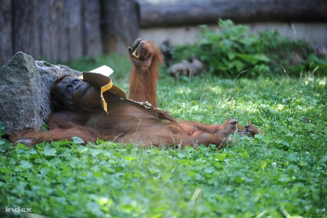 Az orángutánok is fejet hajthatnak a hercegi pár előtt
