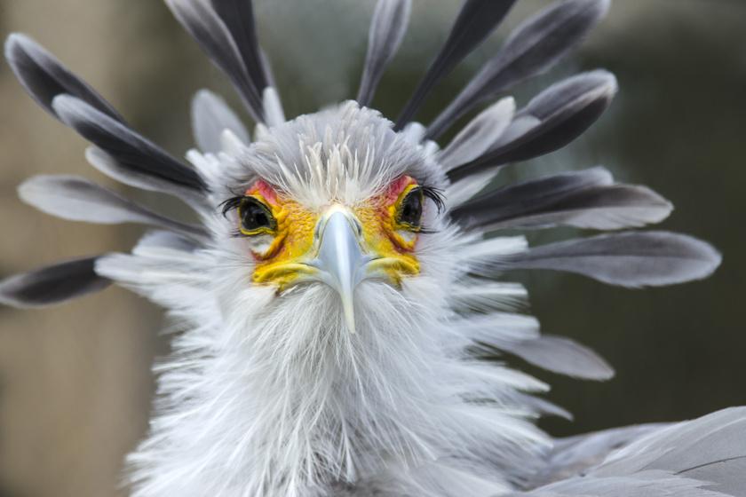 Testfelépítése és DNS-e alapján a kígyászkeselyűt önálló családba sorolják a madarakon belül, tehát nincs a világon hozzá fogható állat. Franciaországban találtak olyan 20 millió éves leleteket, amik bebizonyítják, hogy egykor több hasonló faj is élt.