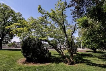 A nagyvirágú liliomfa egzotikus növény, az amerikai Délről származik