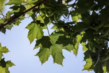 A korai juhar nagyon gyakori, őshonos erdei fa, a levelege jellegzetesen csipkés