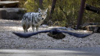 A vadon élő állatok vették át a hatalmat az amerikai nemzeti parkokban