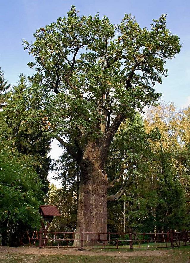 A nagy tölgyfa 2007-ben, még jóval a kiégés előtt