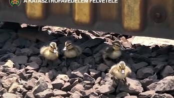 Így totyogott a síneken a kacsacsalád, ami megállította a 2-es metrót