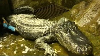 Elpusztult a moszkvai állatkert háborús menekült aligátora