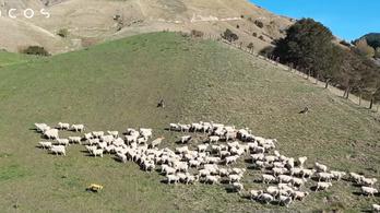 Valódi bárányokat terelget a robotkutya Új-Zélandon