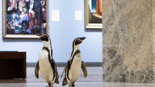 Három műkedvelő pingvin meglátogatott egy bezárt múzeumot