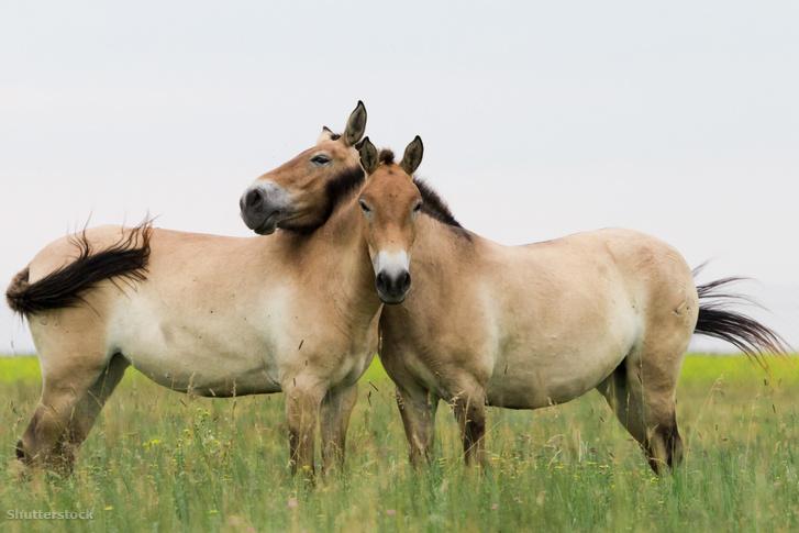 Przsevalszkij-lovak. Képünk illusztráció!