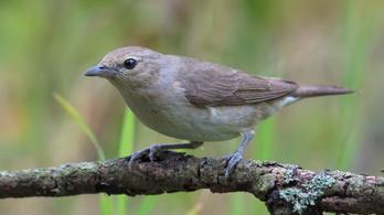 Újabb klímavesztesek Magyarországon: a fészkelő madarak