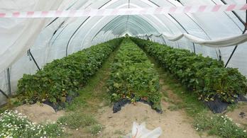 400 kiló epret loptak el egy szlovák településen