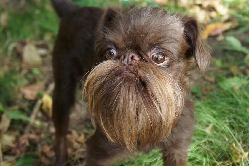 A szakállas kutyát imádja az internet: nem is csodáljuk a képek láttán