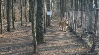 Kijött egy videó arról, hogyan szökött meg egy oroszlán a veresegyházi medvefarmon