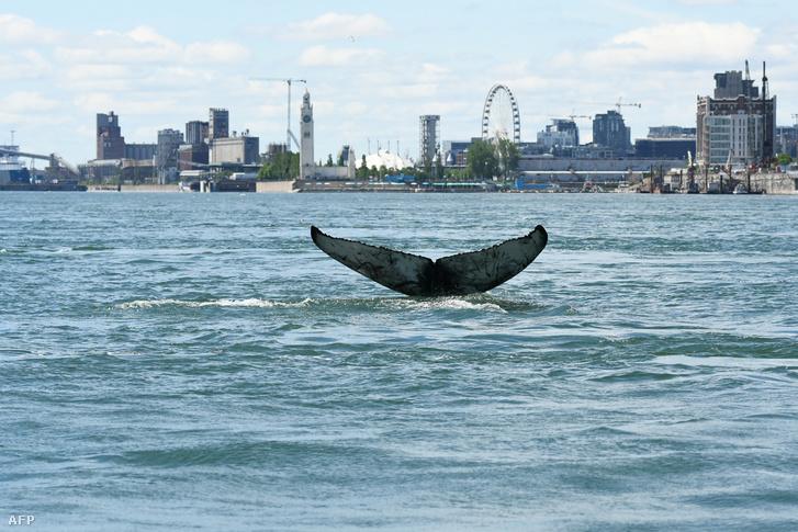 Hosszúszárnyú bálna farka Montreálban 2020. március 30-án
