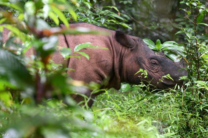 A kihalás szélén álló szumátrai orrszarvúból kevesebb, mint 1000 példány él