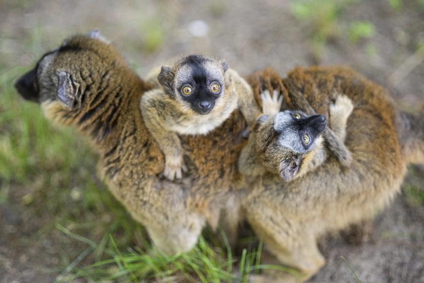 Aprócska makiikrek születtek Nyíregyházán: bárki besétálhat közéjük