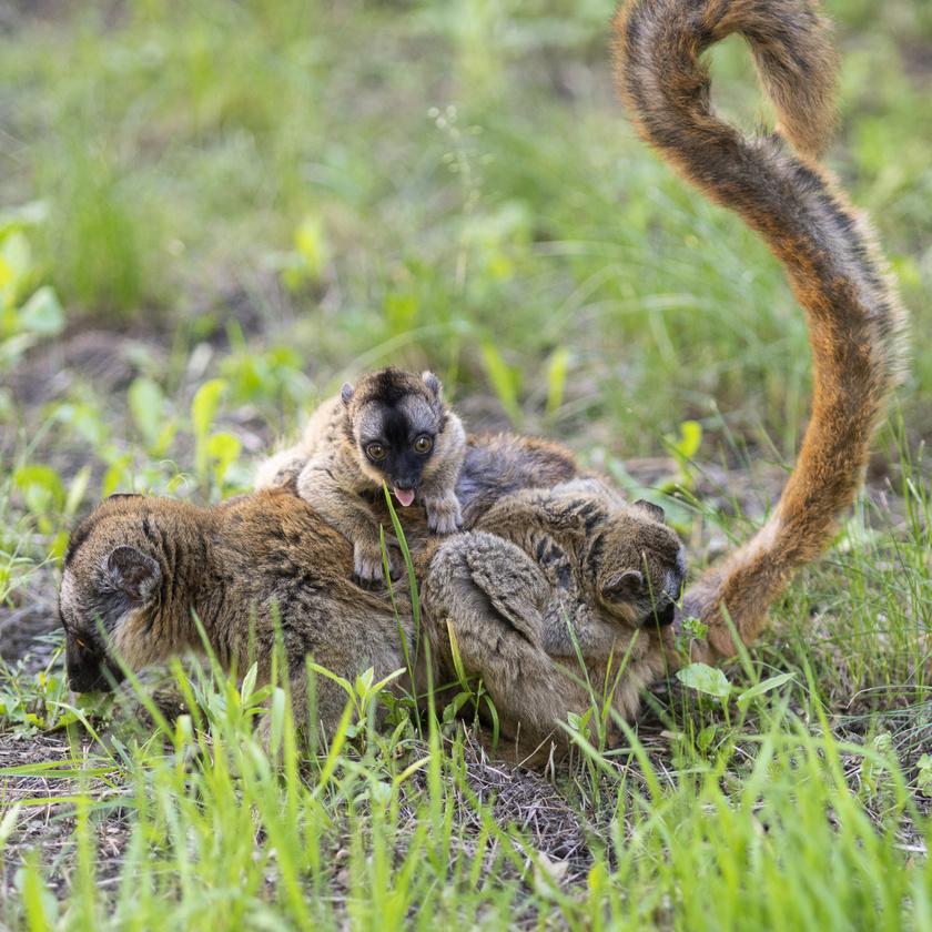 Öthetes sárgaszakállas makiikrek kapaszkodnak anyjukba a Nyíregyházi Állatparkban 2020. június 2-án.