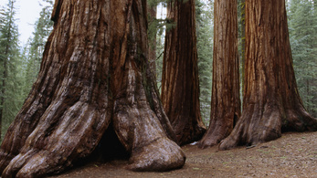 Mondjunk búcsút a nagy, öreg fáknak