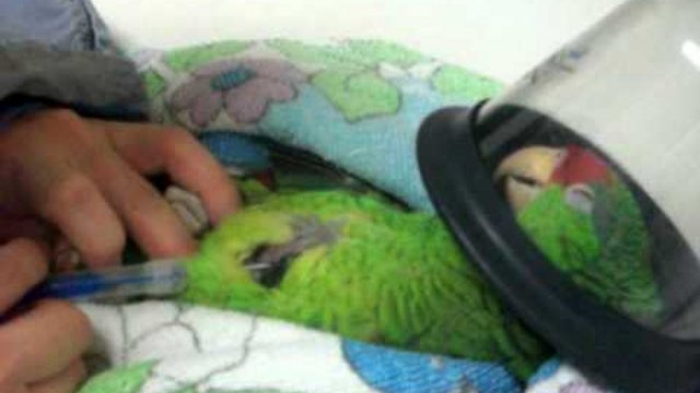 Papagájok microchippelése