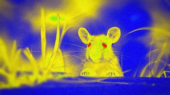 Magyar kutatók csináltak Robotzsarut az egerekből