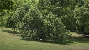 35 fát vágnak ki a Tabánban