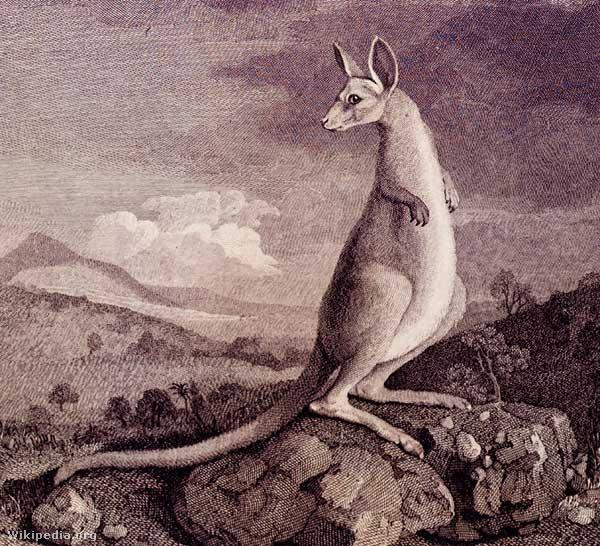 Ezt a kengurut látták meg 1770. június 23-án az HMS Endeavour kutatói (Sydney Parkinson rajza)
