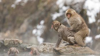 Hetven majom szökött meg egy állatkertből Japánban