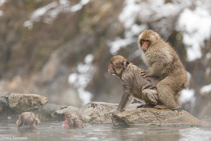 Japán makákók meleg forrásban fürdőznek.