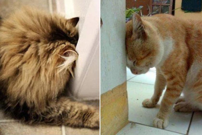 Ha a falhoz nyomja  a fejét, azonnal vidd orvoshoz: a kutyáknál és macskáknál is előforduló tünet háttere
