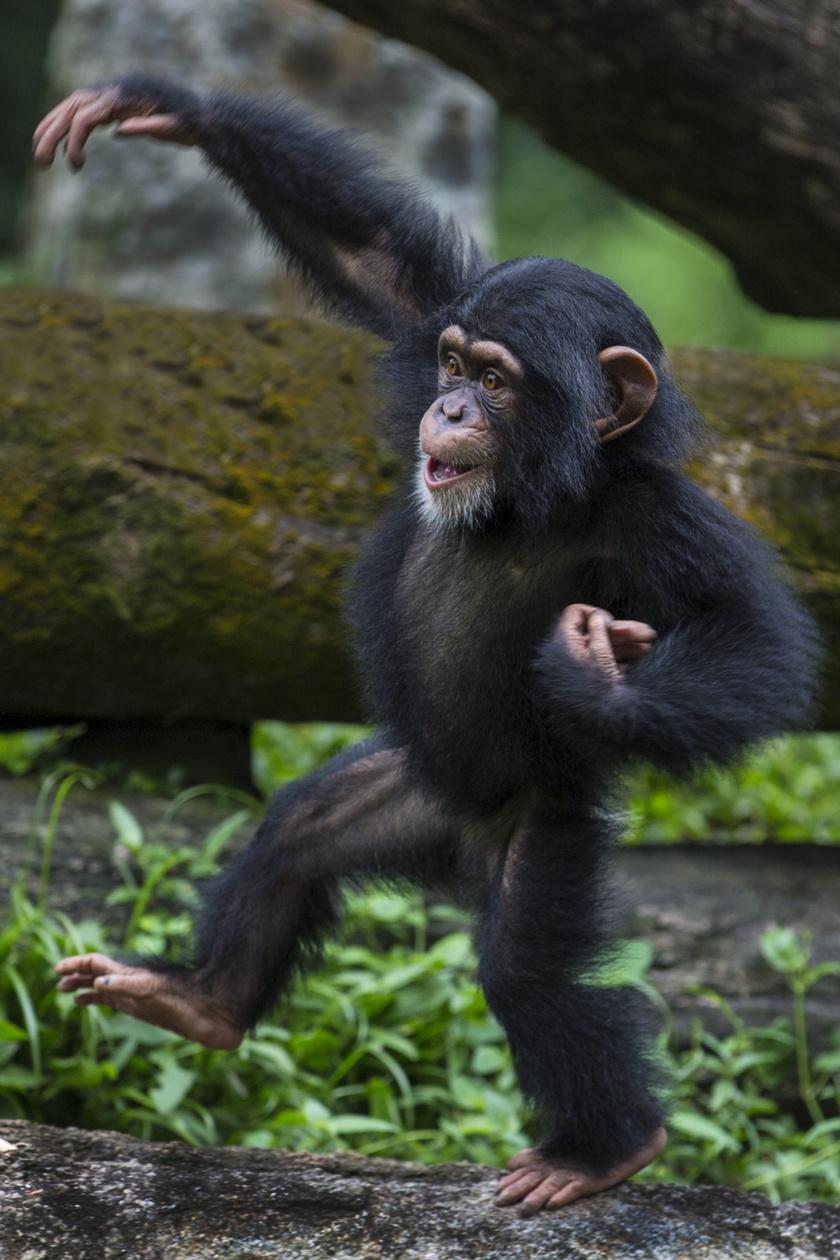 kis-csimpanz