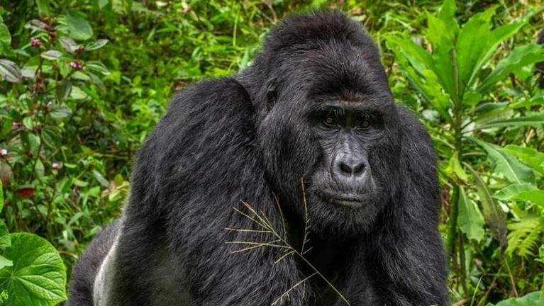 Megölték a turistacsalogató ugandai gorillát