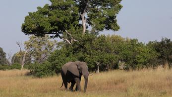 Rejtélyes elefántpusztulás: 2 hónap alatt 154 állat hullott el Botswanában