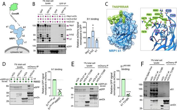 Az NRP1-hez való kapcsolódás