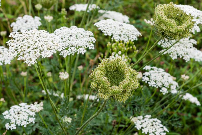 Vadrépának is hívják ezt a vadon termő gyomnövényt, mely szélhajtó, epehajtó hatású. Mi a valódi neve?