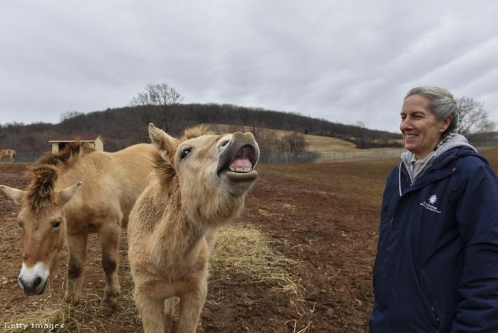 Bár ezek amerikai egyedek, de ilyen lovakat vizsgálnak a Hortobágyon is.