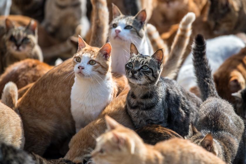 Minden cicabarát álma ez az apró japán sziget: rengeteg macskaimádó keresi fel, nem véletlenül