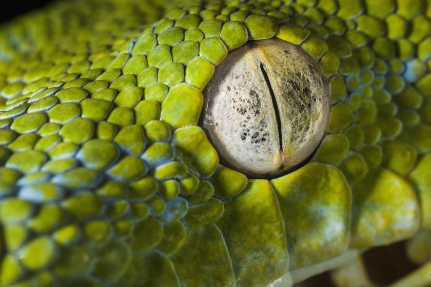 kígyó szem
