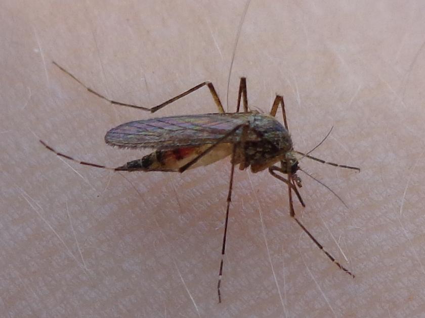 Mocsári szúnyog.