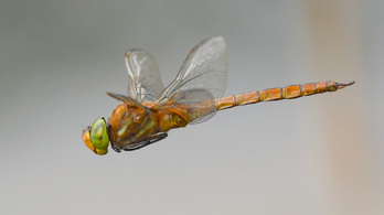 Leonardo látta a szitakötő szárnyának lebbenését is