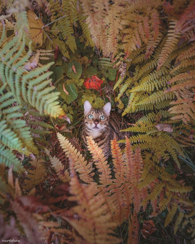 Gazdái pedig ezen adottságát ki is használják, bár mi a helyükben biztos félnénk néha, hogy a kalandozó macsek annyira kalandvágyó lesz, hogy egyszer csak eltűnik valahol a vadonban