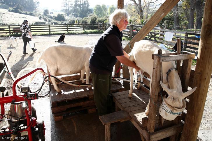 Sue Meszaros új-zélandi kecsketenyésztő feji az állatait
